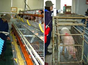 家畜生産実習